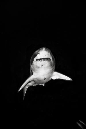 Siyah Beyaz Köpekbalığı Hayvanlar Kanvas Tablo