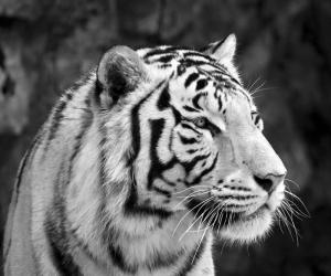 Siyah Beyaz Sibirya Kaplanı Hayvanlar Kanvas Tablo