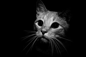 Siyah Beyaz Yavru Kedi Hayvanlar Kanvas Tablo