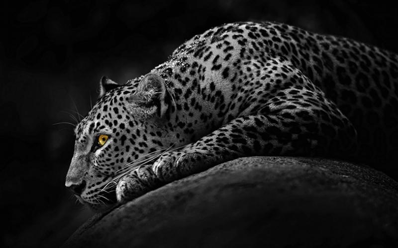 Siyah Jaguar Hayvanlar Kanvas Tablo