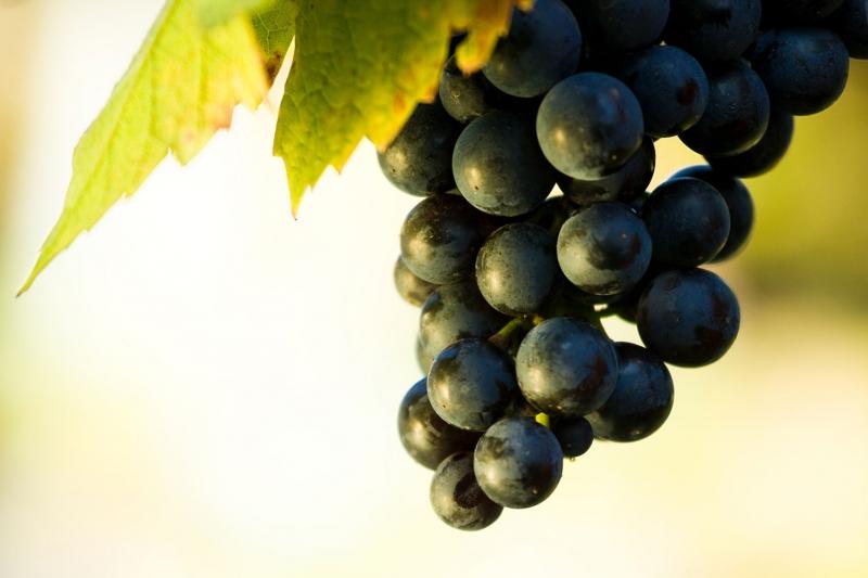 Siyah üzüm Salkımı 3 Lezzetler Kanvas Tablo Arttablo