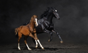 Siyah ve Kahverengi Atlar Hayvanlar Kanvas Tablo