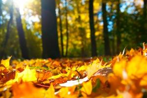 Sonbahar Sarı Yapraklar Doğa Manzarası Kanvas Tablo