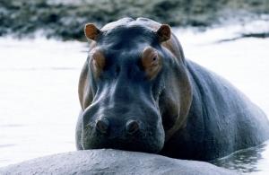 Su Aygırları 1 Hipopotam Hayvanlar Kanvas Tablo