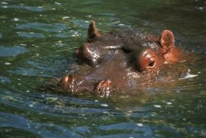 Su Aygırları 2 Hipopotam Hayvanlar Kanvas Tablo
