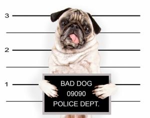 Suçlu Köpek Hayvanlar Kanvas Tablo