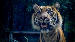 Sumatra Kaplanı Hayvanlar Kanvas Tablo