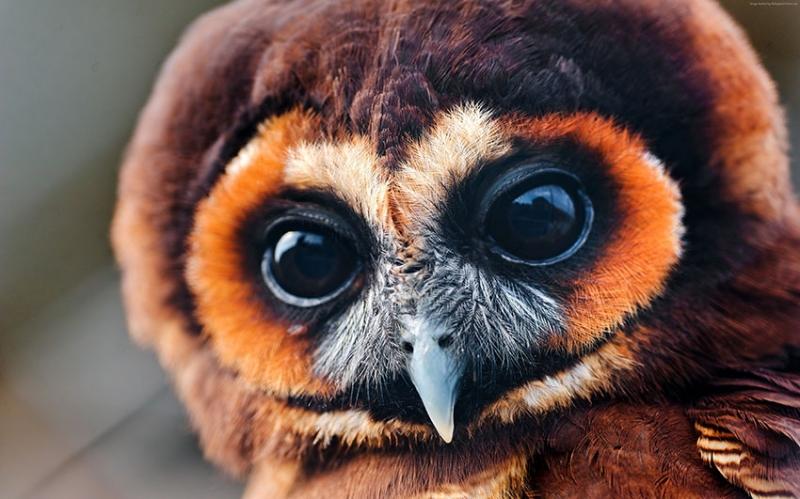 Tatlı Baykuş Bakışı Hayvanlar Kanvas Tablo