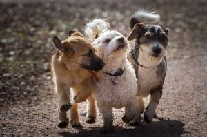 Tatlı Yavru Köpekler Hayvanlar Kanvas Tablo