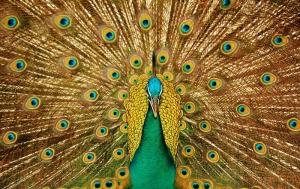 Tavuz Kuşu 1 Hayvanlar Kanvas Tablo