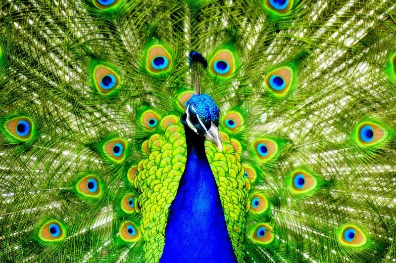 Tavuz Kuşu 2 Hayvanlar Kanvas Tablo