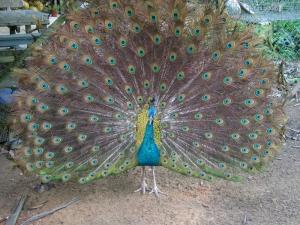 Tavuz Kuşu 4 Hayvanlar Kanvas Tablo