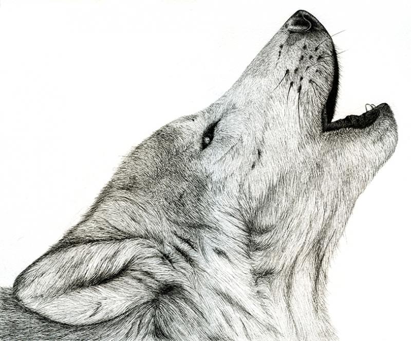 Uluyan Beyaz Kurt Hayvanlar Kanvas Tablo