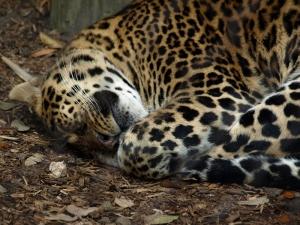 Uyuyan Kaplan Hayvanlar Kanvas Tablo