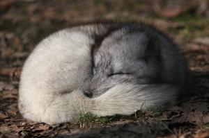 Uyuyan Kurt Hayvanlar Kanvas Tablo