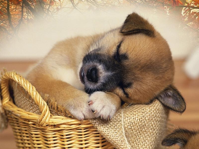 Uyuyan Yavru Köpek Hayvanlar Kanvas Tablo