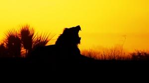 Vahşi Aslan ve Gün Batımı Hayvanlar Kanvas Tablo