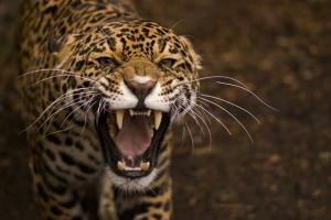 Vahşi Jaguar Hayvanlar Kanvas Tablo