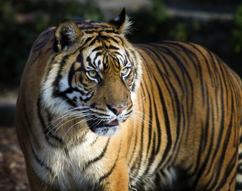 Vahşi Kaplan Hayvanlar Kanvas Tablo