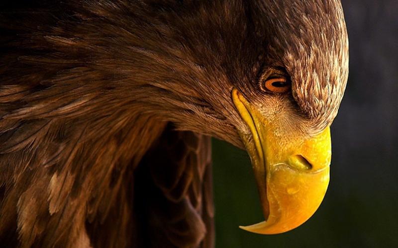 Vahşi Kartal Hayvanlar Kanvas Tablo