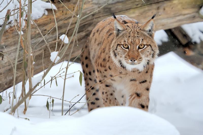 Vahşi Kedi Hayvanlar Kanvas Tablo