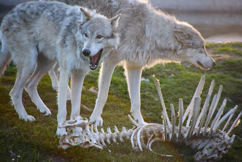 Vahşi Kurt Ailesi Hayvanlar Kanvas Tablo