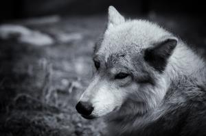 Vahşi Kurt Siyah Beyaz Hayvanlar Kanvas Tablo