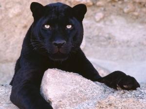Vahşi Puma Hayvanlar Kanvas Tablo
