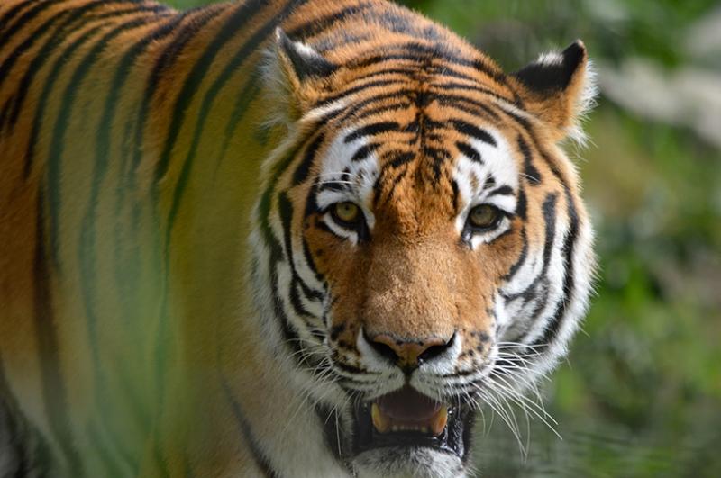 Vahşi Yaşam ve Kaplan Hayvanlar Kanvas Tablo