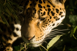 Vahşi Yaşamda Kaplan Hayvanlar Kanvas Tablo
