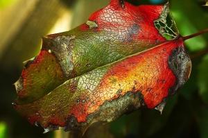 Yaprak Üzerinde Su Damlaları, HD Renkler Fotoğraf Kanvas Tablo