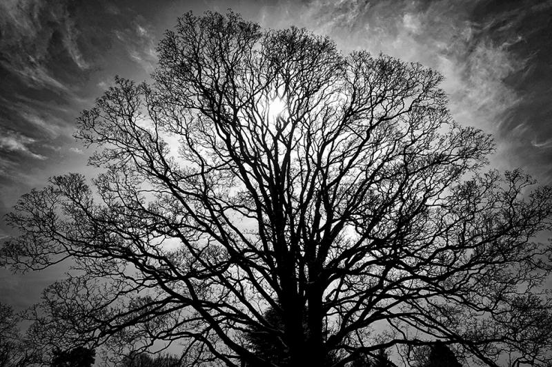 Yaşlı Ağaç Siyah Beyaz Fotoğraf Kanvas Tablo