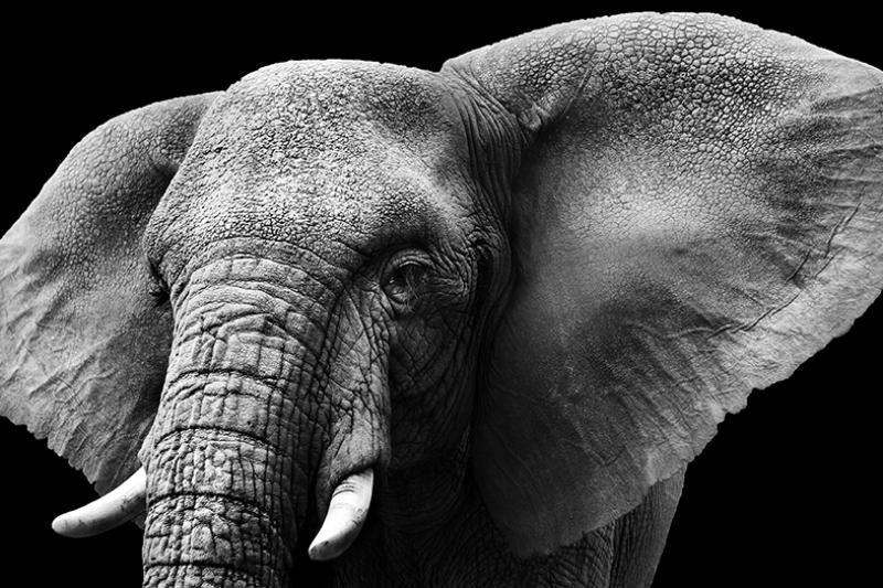 YaşlI Fil Hayvanlar Kanvas Tablo