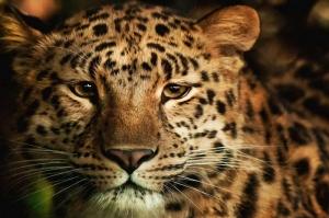Yavru Kaplan Hayvanlar Kanvas Tablo