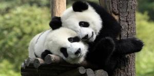 Yavru Panda-2 Hayvanlar Kanvas Tablo