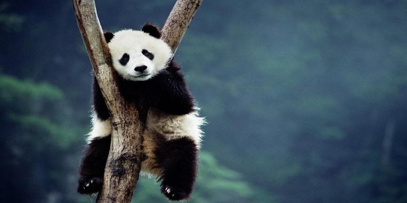 Yavru Panda Hayvanlar Kanvas Tablo