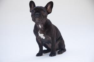 Yavru Siyah Köpek Hayvanlar Kanvas Tablo