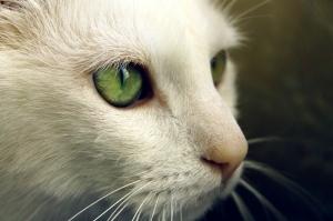 Yeşil Gözlü, Beyaz Kedi, Hayvanlar Kanvas Tablo