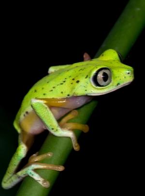 Yeşil Kurbağa Hayvanlar Kanvas Tablo