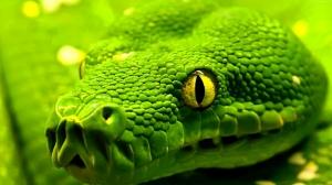 Yeşil Yılan Hayvanlar Kanvas Tablo