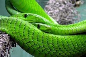 Yeşil Yılan Vahşi Hayvanlar Kanvas Tablo