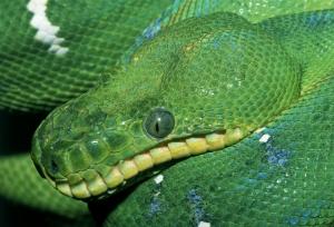 Yılanlar 1 Yeşil Yılan Hayvanlar Kanvas Tablo