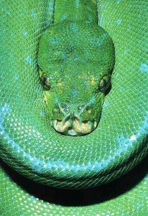 Yılanlar 4 Yeşil Yılan Hayvanlar Kanvas Tablo