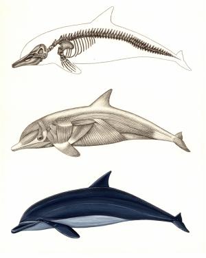 Yunus Anatomisi Hayvanlar Kanvas Tablo