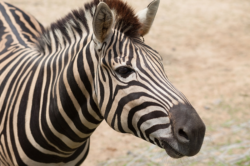 Zebra 2 Hayvanlar Kanvas Tablo