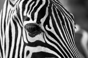 Zebra 2 Siyah Beyaz Fotoğraf Kanvas Tablo