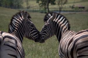 Zebra 3 Hayvanlar Kanvas Tablo