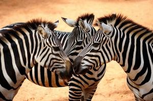 Zebra 4 Hayvanlar Kanvas Tablo