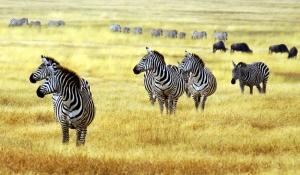 Zebra Ailesi Hayvanlar Kanvas Tablo
