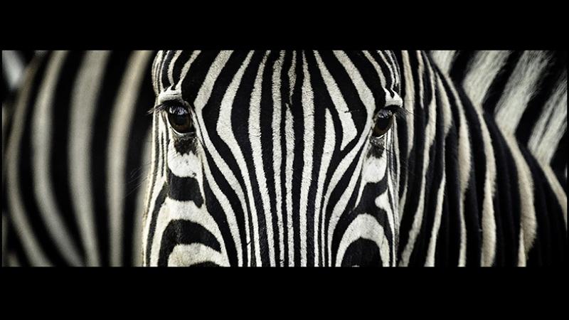 Zebra Detay Hayvanlar Kanvas Tablo